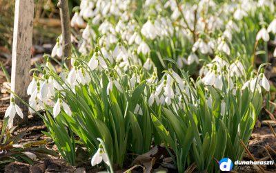 Valódi hóvirágszőnyeg borítja Dunaharaszti egyik kertjét