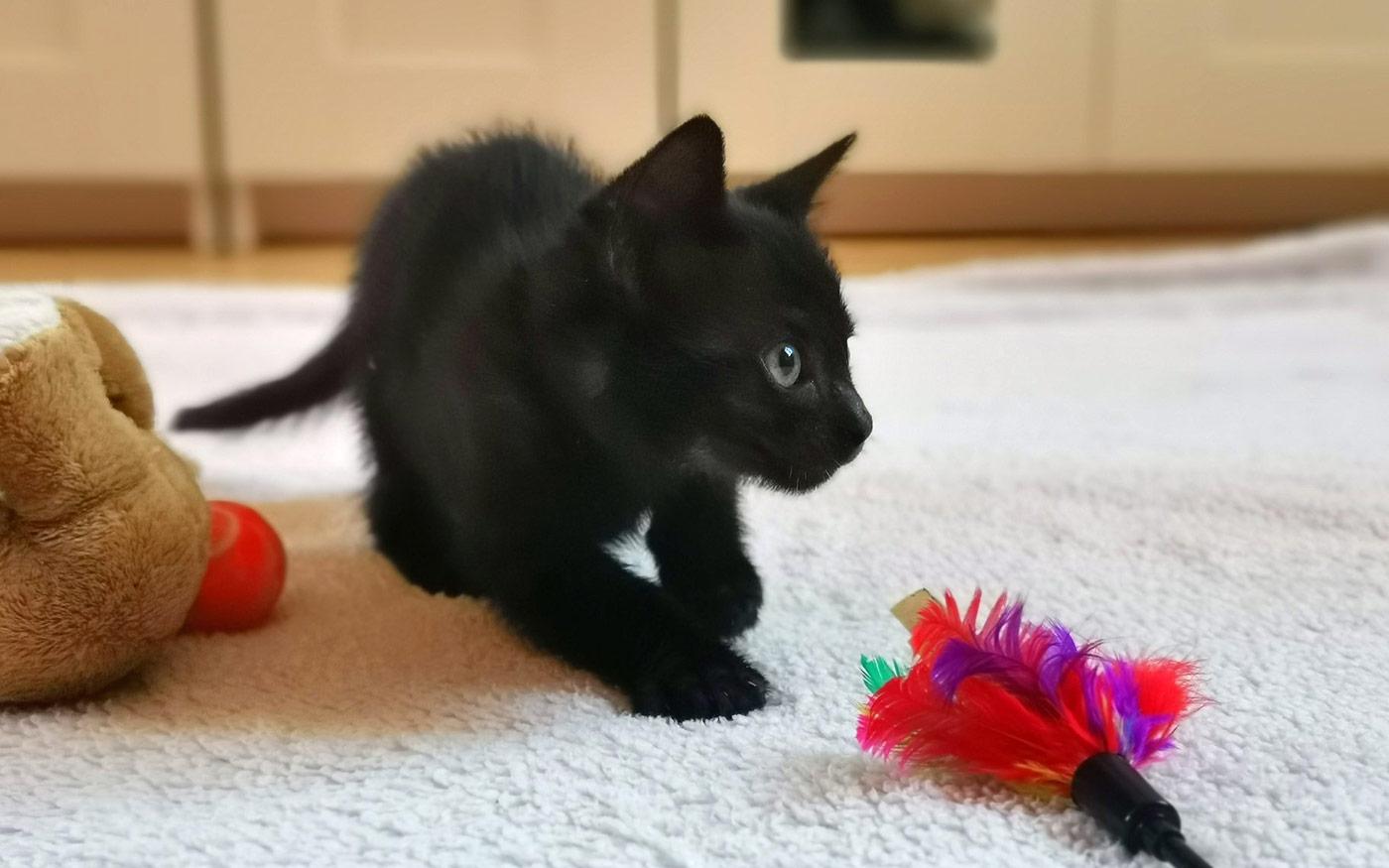 Gyönyörű, fekete kiscicáknak keresnek új otthont Dunaharasztin