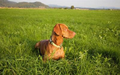 Jövőre már ingyen törzskönyvezik a magyar kutyafajtákat