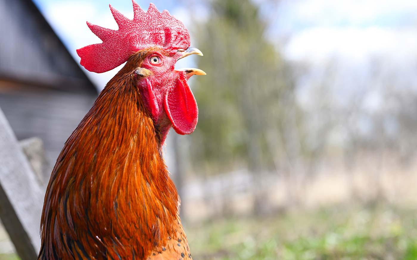 Francia törvény védi a kakaskukorékolást