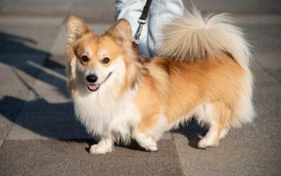 Ne sétáltassa a kutyát nagy melegben
